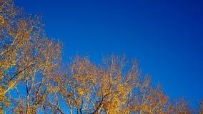Żółte gałąź na tle niebieskie niebo Zdjęcia Royalty Free