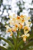 Żółte i pomarańczowe orchidee z bokeh. Fotografia Royalty Free
