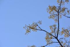 Żółte jagody na drzewie Obrazy Royalty Free