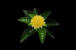 Żółte kwiat chryzantemy z zielonymi liśćmi obraz royalty free