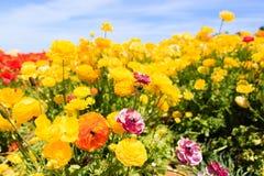 Żółte kwiatu pola światła chmury Zdjęcie Royalty Free