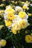 Żółte małe róże w ogródzie różanym Retiro park Zdjęcia Stock