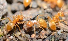 Żółte mrówki Zdjęcia Royalty Free