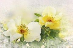 Żółte psie róże, kwiecisty projekt z tekstury ramą Obrazy Stock