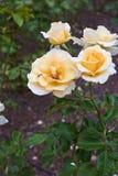 Żółte róże Fotografia Stock