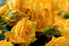 Żółte róże Obrazy Royalty Free