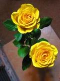 Żółte róże Obrazy Stock