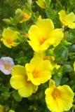 Żółte słońce krople zdjęcie stock