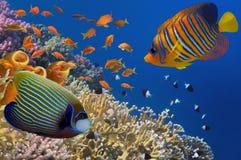 Żółte tubk gąbki w Czerwonym morzu Fotografia Royalty Free