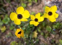 Żółtego anemonowego coronaria dziki kwiat Obrazy Royalty Free