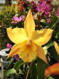 Żółtego hybrydowego laelia storczykowy okwitnięcie Fotografia Stock