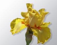 Żółtego irysa kwiat rozprzestrzenia przeciw lekkiego koloru tłu Obrazy Stock