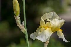 Żółtego irysa pączek & kwiat Zdjęcie Royalty Free