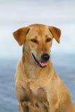 Żółtego kundla psi pozować na ulicznym plamy tle Fotografia Stock