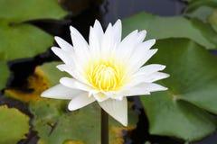 Żółtego Lotosowego kwiatu i Lotosowego kwiatu rośliny Obraz Royalty Free