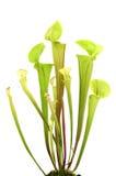 Żółtego miotacza roślina Obrazy Stock