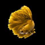 Żółtego smoka boju siamese ryba, betta ryba odizolowywająca na blac Obrazy Royalty Free