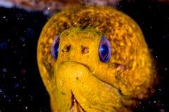 Żółtego Węgorzowego mooray portreta zakończenia up szczegół Obraz Royalty Free