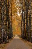 Żółtej brzozy jesieni aleja chmurzący dzień Zdjęcia Stock