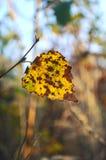Żółtej brzozy liść Zdjęcia Royalty Free