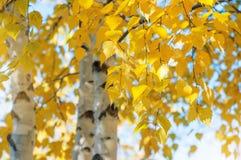 Żółtej brzozy liście Obrazy Stock