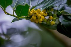Żółtej jagody gałąź Zdjęcia Royalty Free