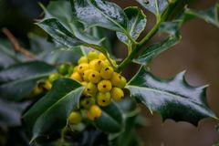 Żółtej jagody grona Zdjęcia Royalty Free