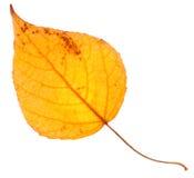 Żółtej topoli liść odizolowywający Obraz Stock