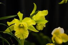 Żółtej zieleni orchidei widowiskowi rzadcy kwiaty zdjęcia royalty free