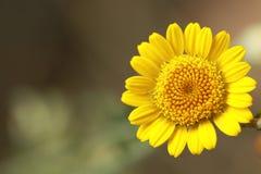 Żółty śliczny mały kwiat Obrazy Royalty Free