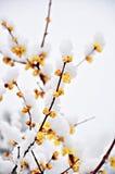 Żółty Śliwkowy kwiat pod śniegiem Zdjęcia Royalty Free