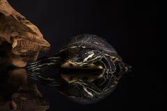 Żółty żółw Zdjęcie Stock