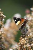 Żółty admiral motyla profil Zdjęcia Royalty Free