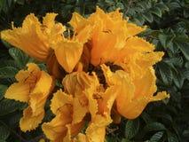 Żółty Afrykański Tulipanowy drzewo Obraz Royalty Free