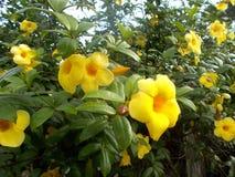 Żółty alamanda kwitnie przy drzewem Zdjęcia Royalty Free