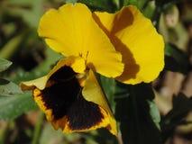 Żółty altówka kwiat Zdjęcie Stock