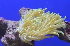 Żółty anemon Zdjęcia Royalty Free
