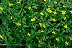 Żółty anemon kwitnie odgórnego widok Zdjęcia Stock