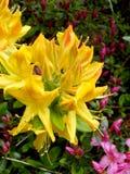 Żółty azalia kwiat fotografia stock