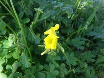 Żółty azjatykci kwiatu zbliżenie Obrazy Royalty Free
