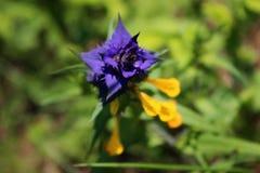 Żółty błękitny dzikiego kwiatu Melampyrum nemorosum L , lato Zdjęcie Stock