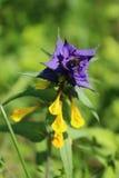 Żółty błękitny dzikiego kwiatu Melampyrum nemorosum L , lato Fotografia Royalty Free