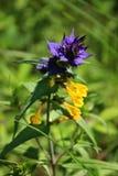 Żółty błękitny dzikiego kwiatu Melampyrum nemorosum L , lato Obrazy Stock
