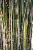 Żółty Bambusowy lasowy naturalny tło Zdjęcia Royalty Free