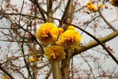 Żółty bawełniany drzewo Fotografia Royalty Free