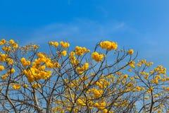 Żółty bawełniany drzewo, jedwabnicza bawełna, masło filiżanka, torchwood & x28; cochlospermum religiosum Alston & x29; Obraz Stock