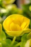 Żółty begonia kwiatu zakończenie Up Obraz Royalty Free