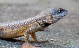 Żółty brzucha gekonu odpoczywać Zdjęcie Stock