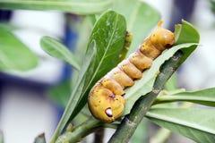 Żółty Caterpillar na zielonym liściu Zdjęcia Royalty Free