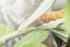 Żółty Caterpillar na zielonym liściu Obraz Royalty Free